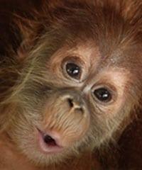 Red Ape Cinnamon Korintje