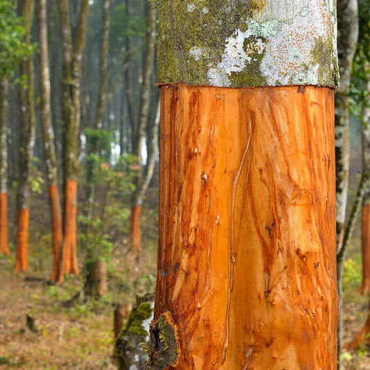 cinnamon forest